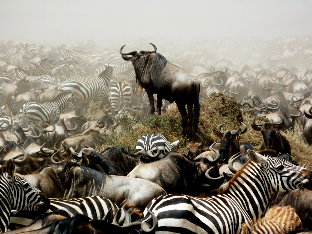 Wildebeest and zebra migration, Serengeti, Tanzania