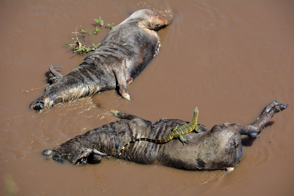 Two dead wildebeest in water with water monitor