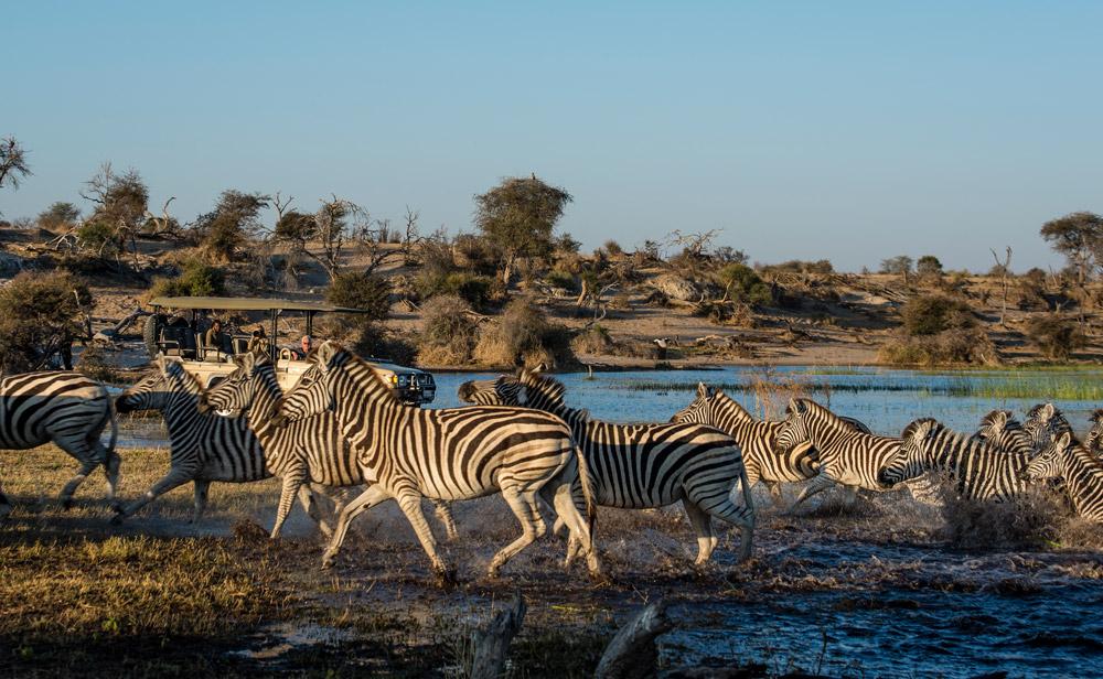 Zebras crossing Boteti River with safari vehicle in background, Botswana