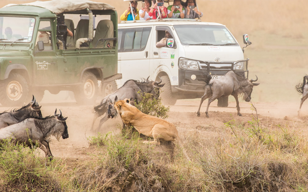 Lioness killing wildebeest in Maasai Mara in Kenya