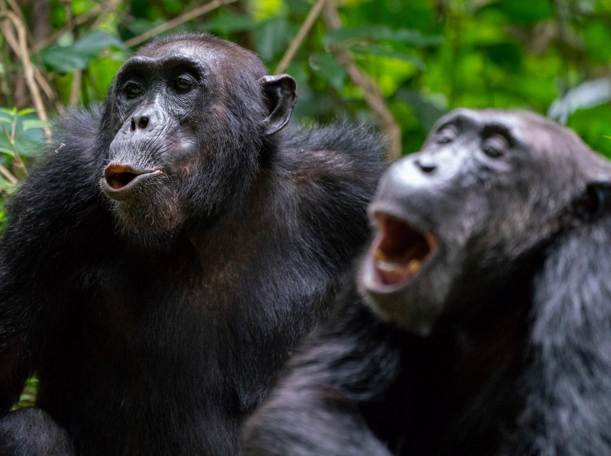Mountain gorillas in Mahale Mountain National Park