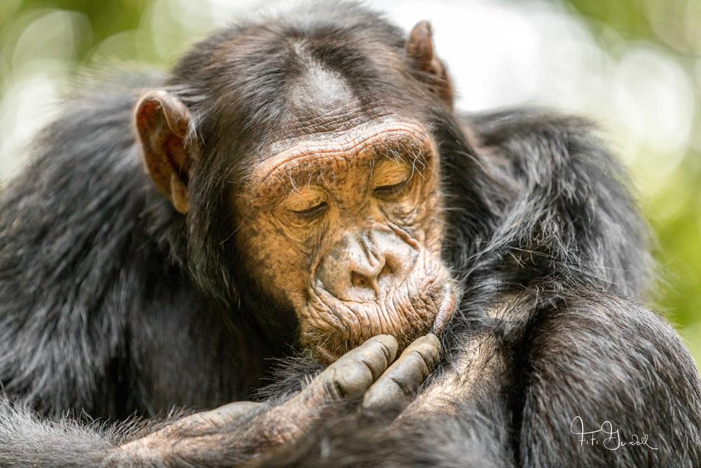 Chimpanzee Taxonomy The Chimpanzee:...