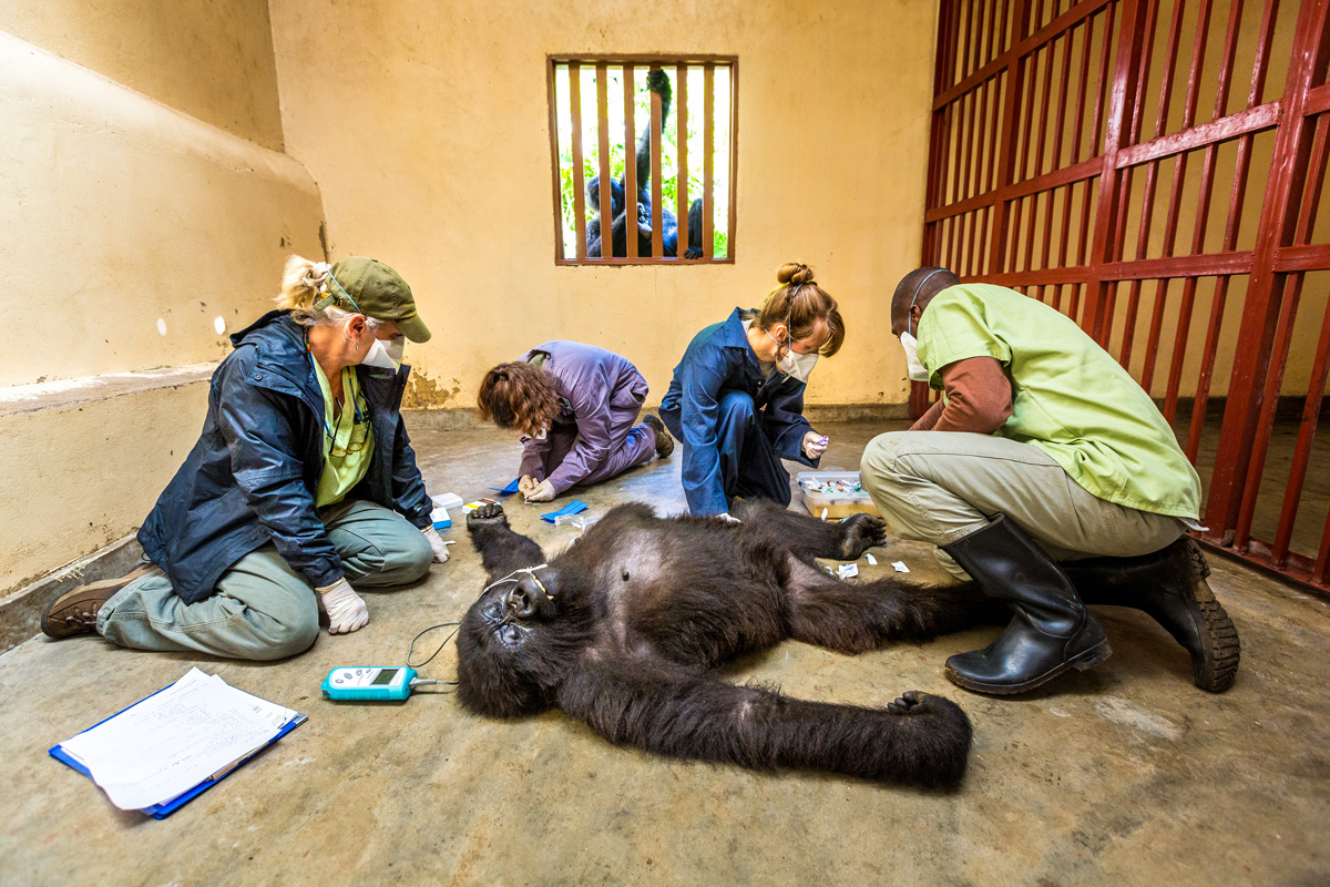 Ndeze watches with concern as the Gorilla Doctors team examines Maisha