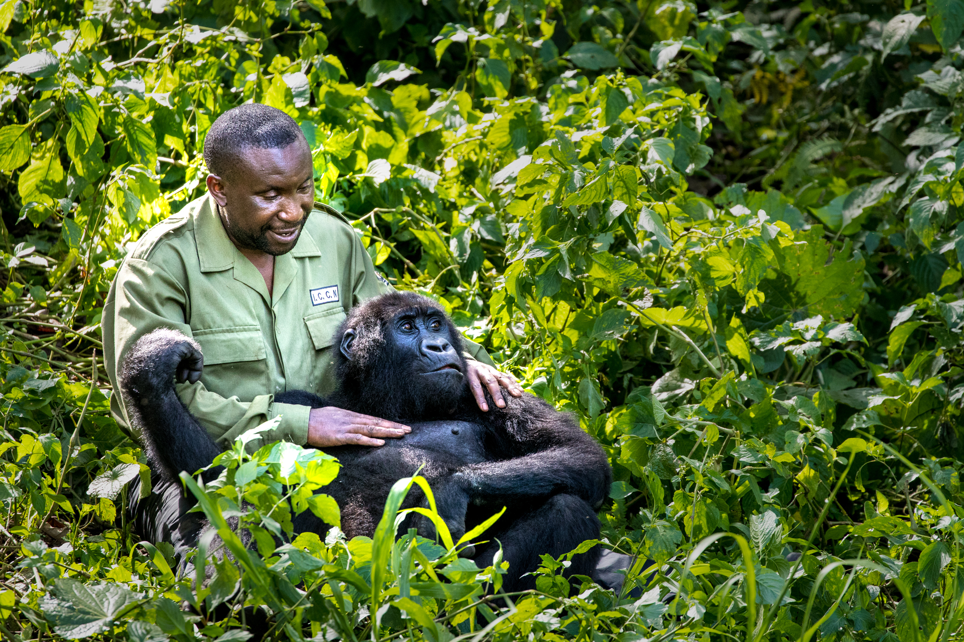 André Bauma, the manager of the Senkwekwe Center, plays with Ndakasi, a Grauer's gorilla