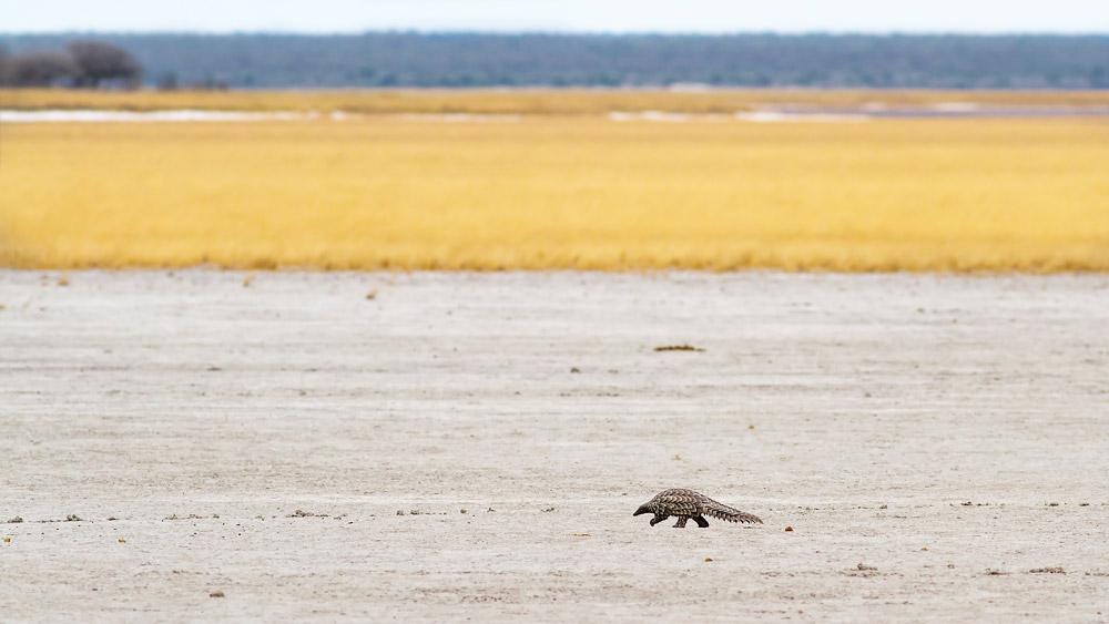 Pangolin walking through Etosha National Park