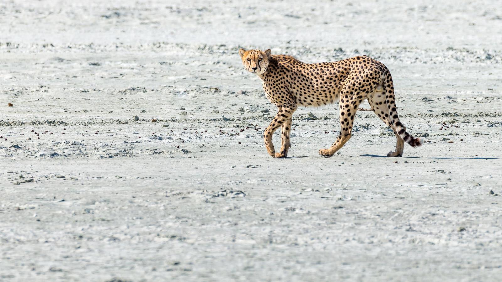 Cheetah walking in Etosha National Park