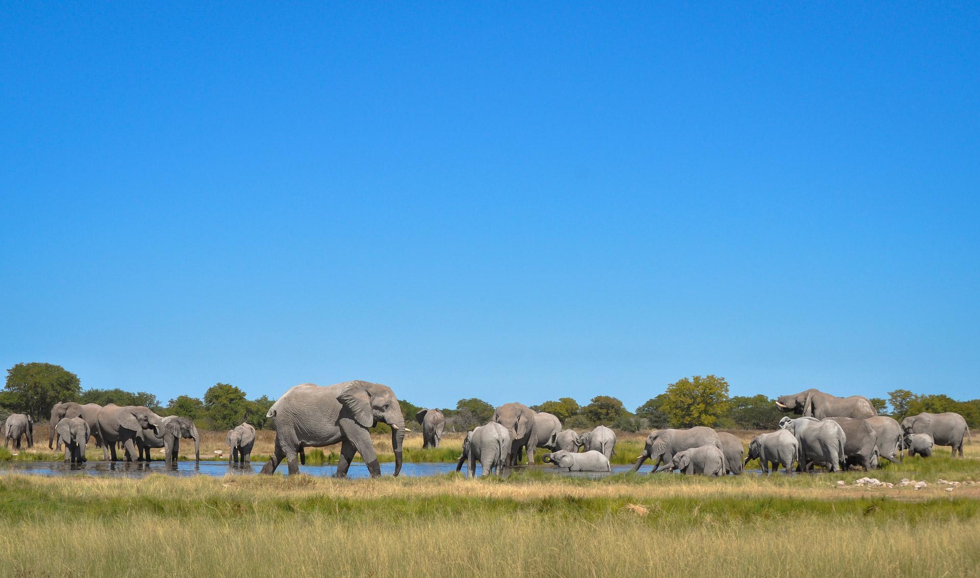 Elephant herd at Goas in Etosha National Park
