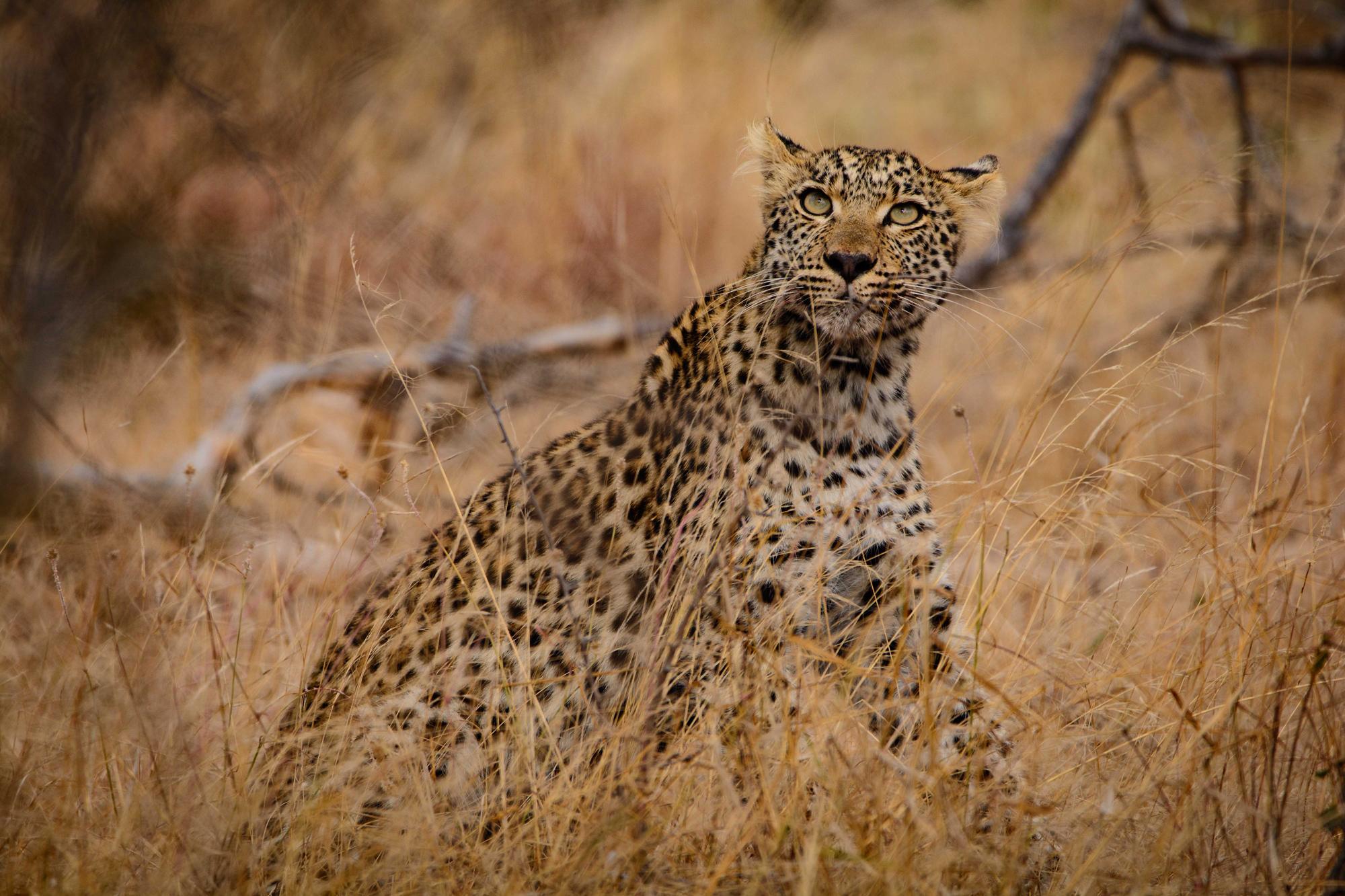Young leopard in Kruger National Park