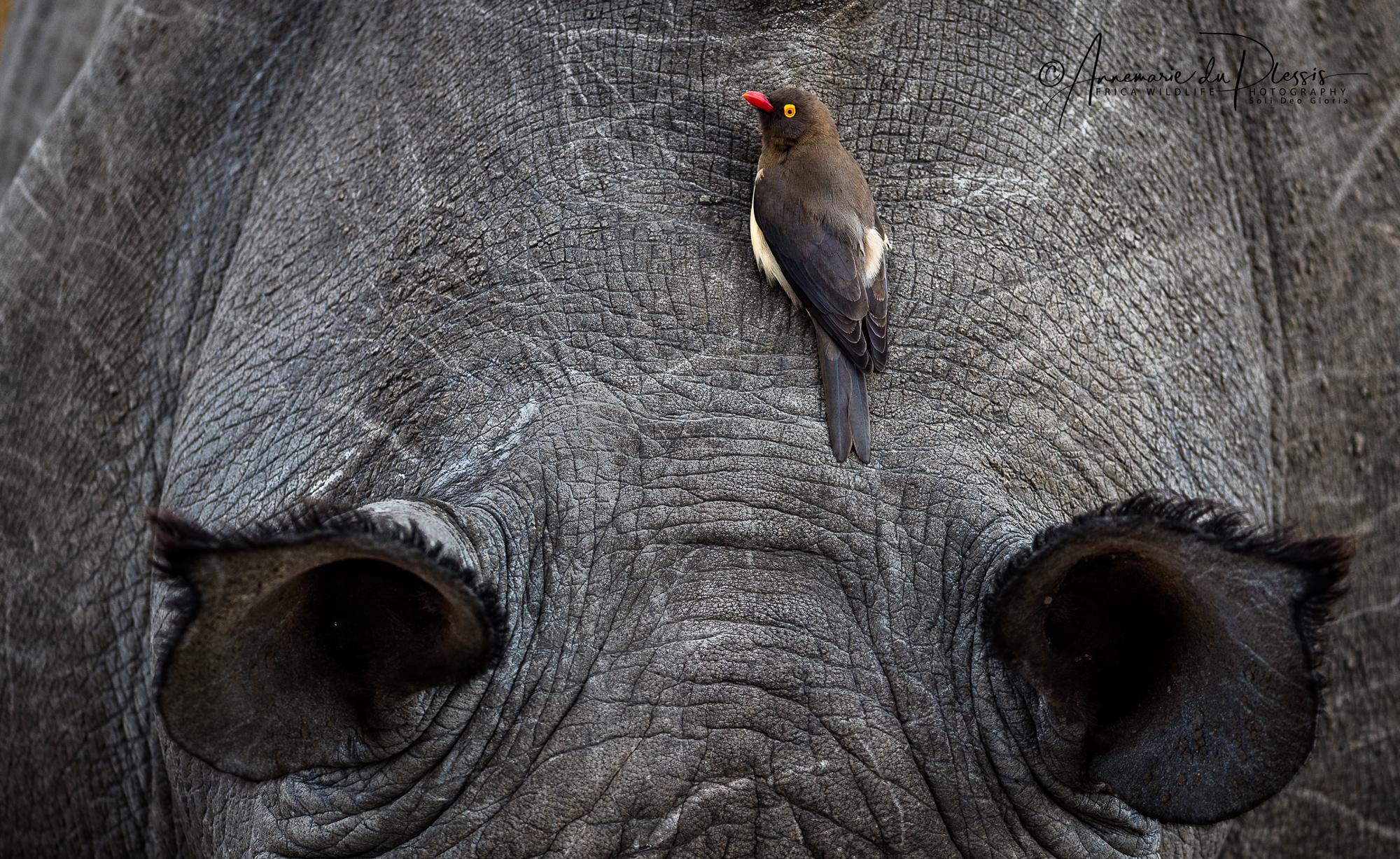 Oxpecker sitting on head of rhino