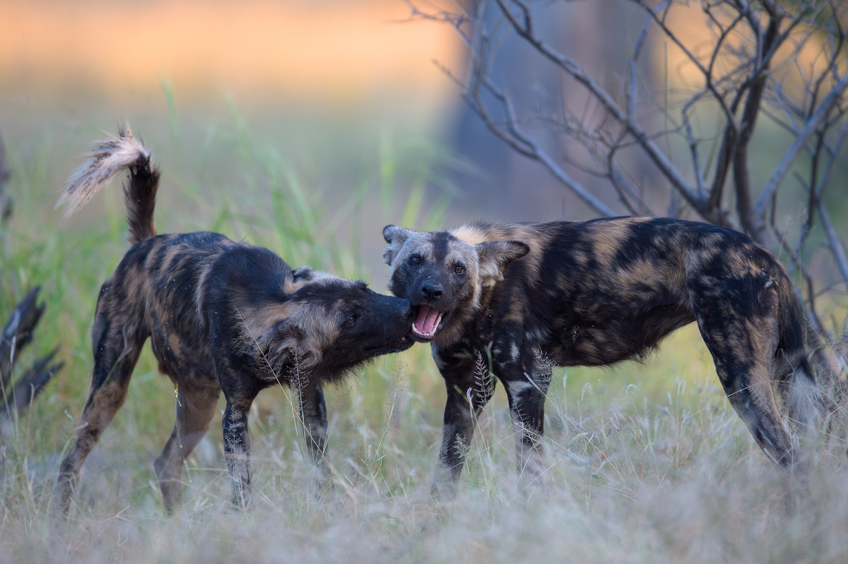 Two painted wolves greeting each other in Mana Pools in Zimbabwe