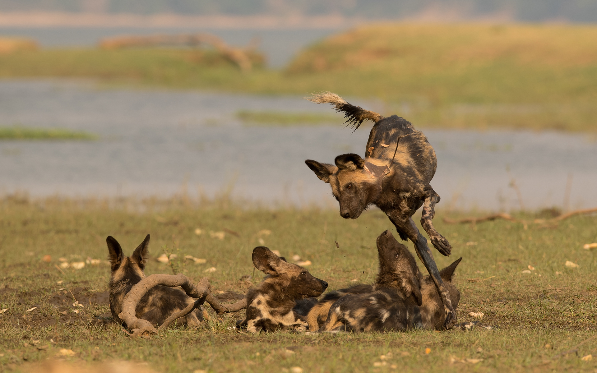 Painted wolves playing in Mana Pools in Zimbabwe