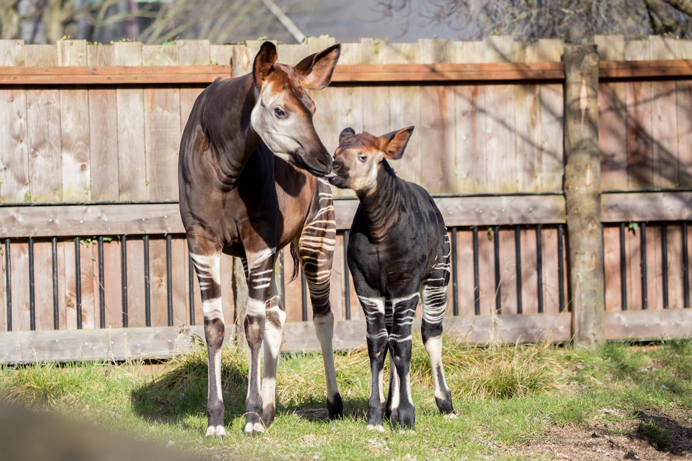 Okapi mother with calf