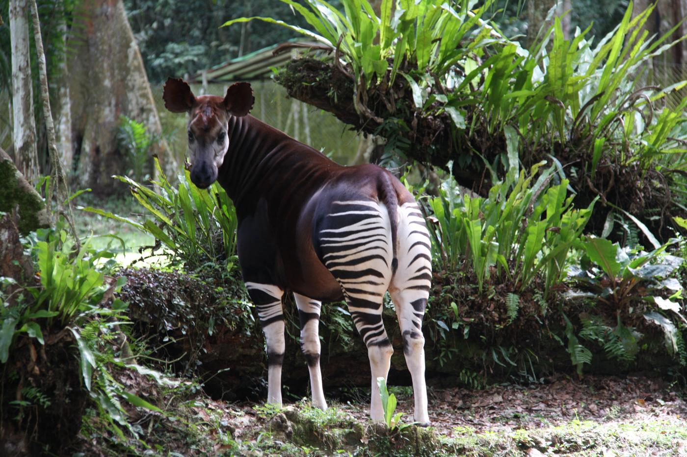 Okapi at Epulu Station in DR Congo