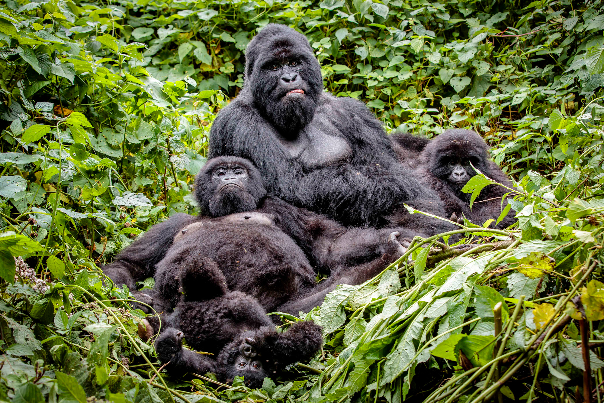 A family portrait of the Rugendo mountain gorilla family in Virunga National Park in the DR Congo