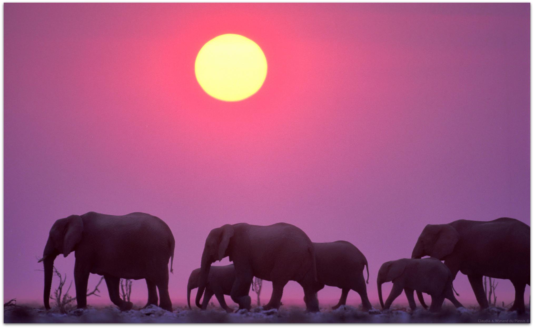 elephant herd passes in front of a pink sunset sky in Etosha National Park
