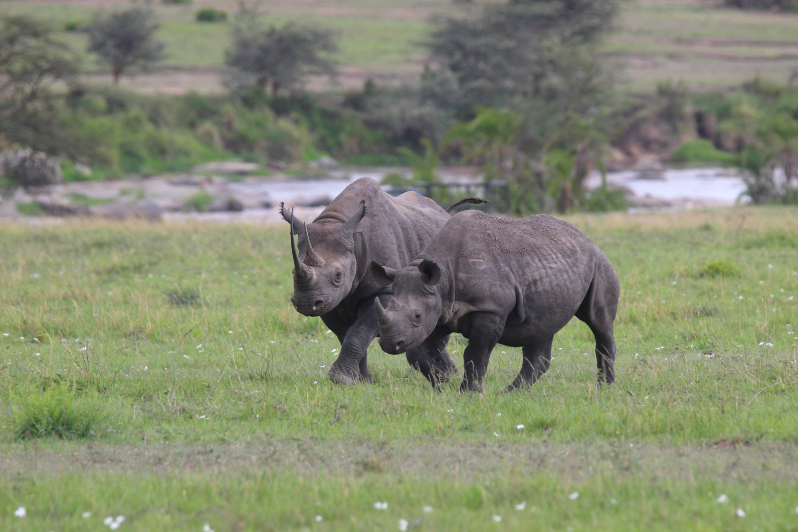 Black rhino mother and calf in the Serengeti