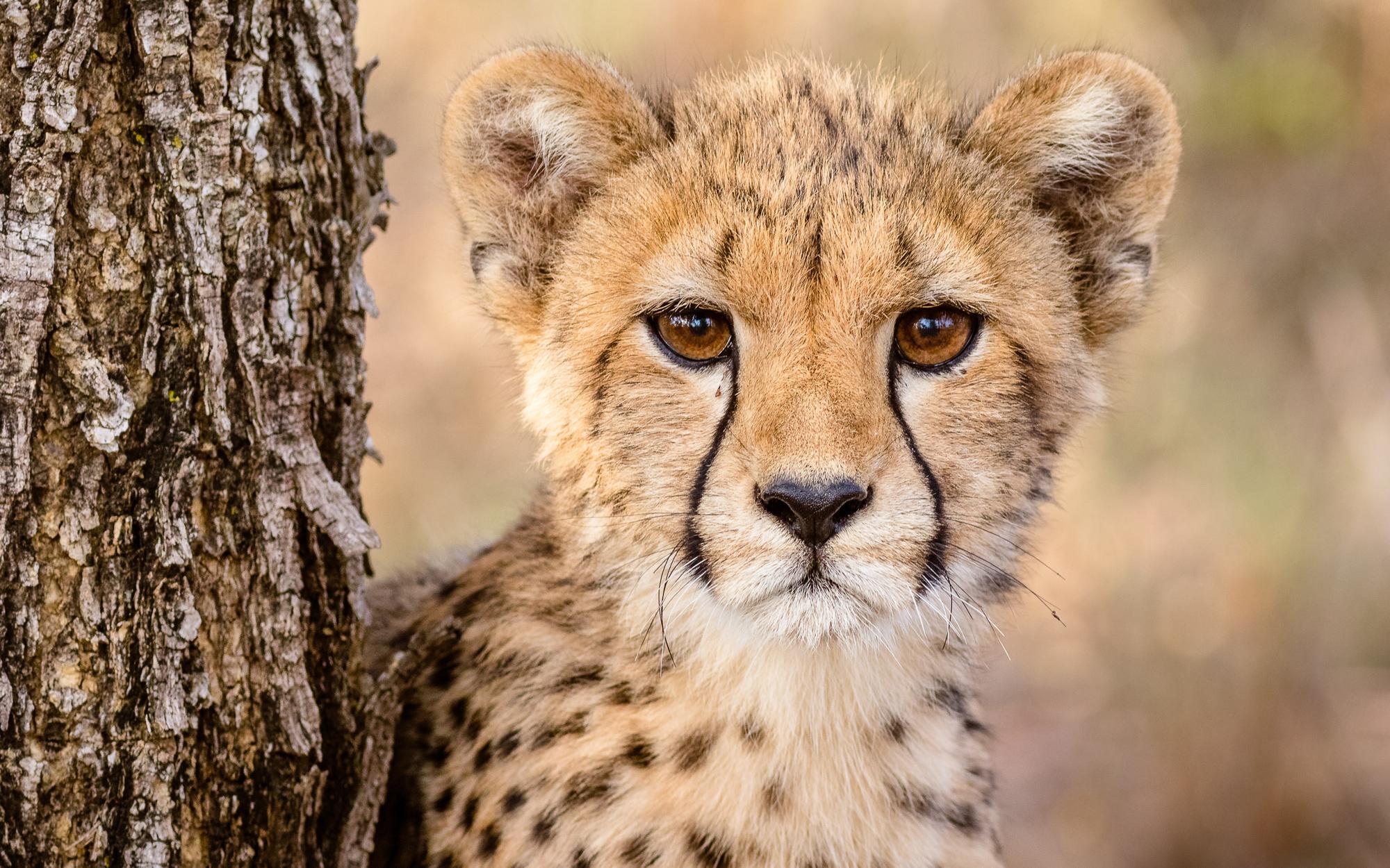 Young cheetah © Cal Butler