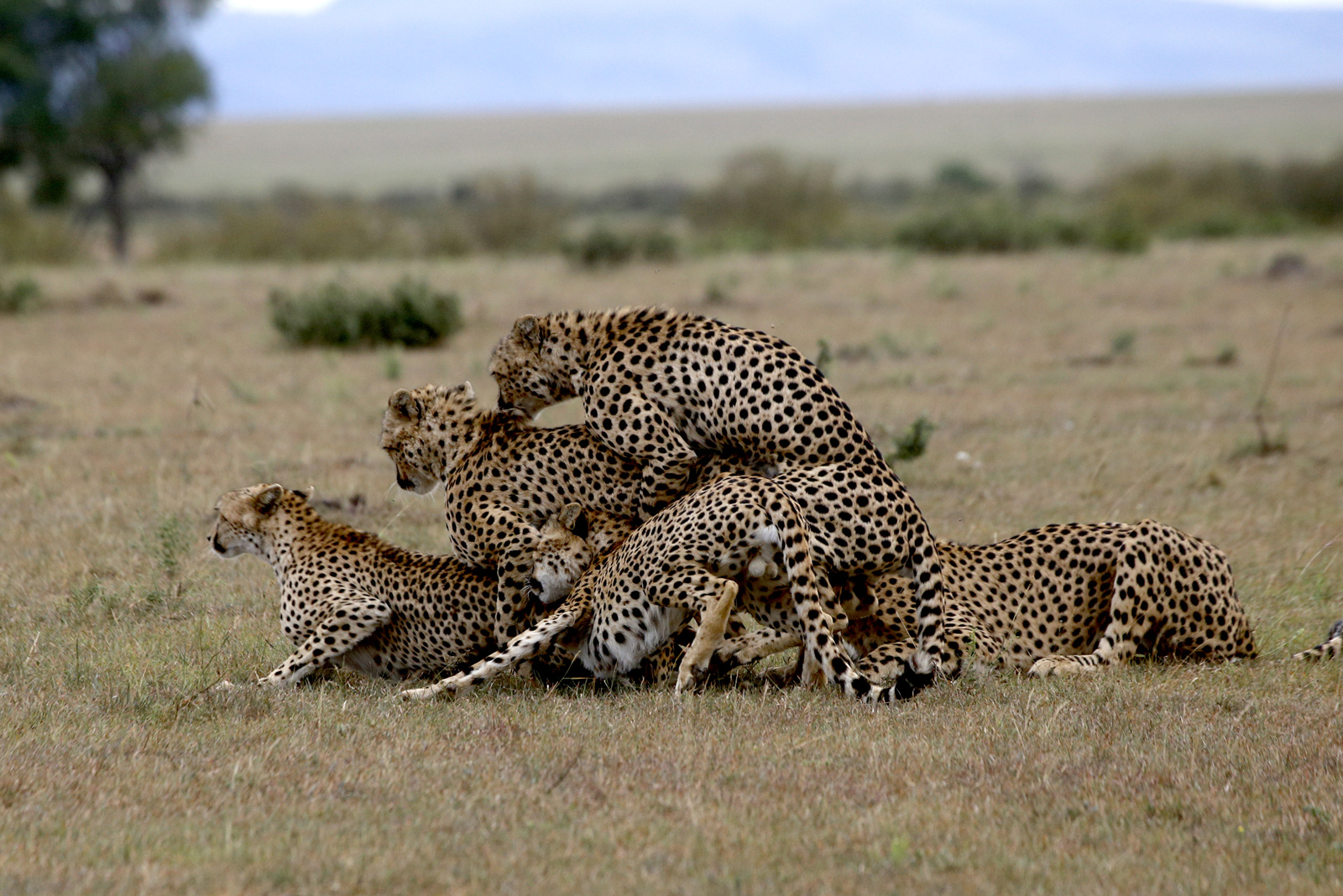 Four of the Fast Five attempting to mate with a female cheetah in the Maasai Mara © Elena Chelysheva