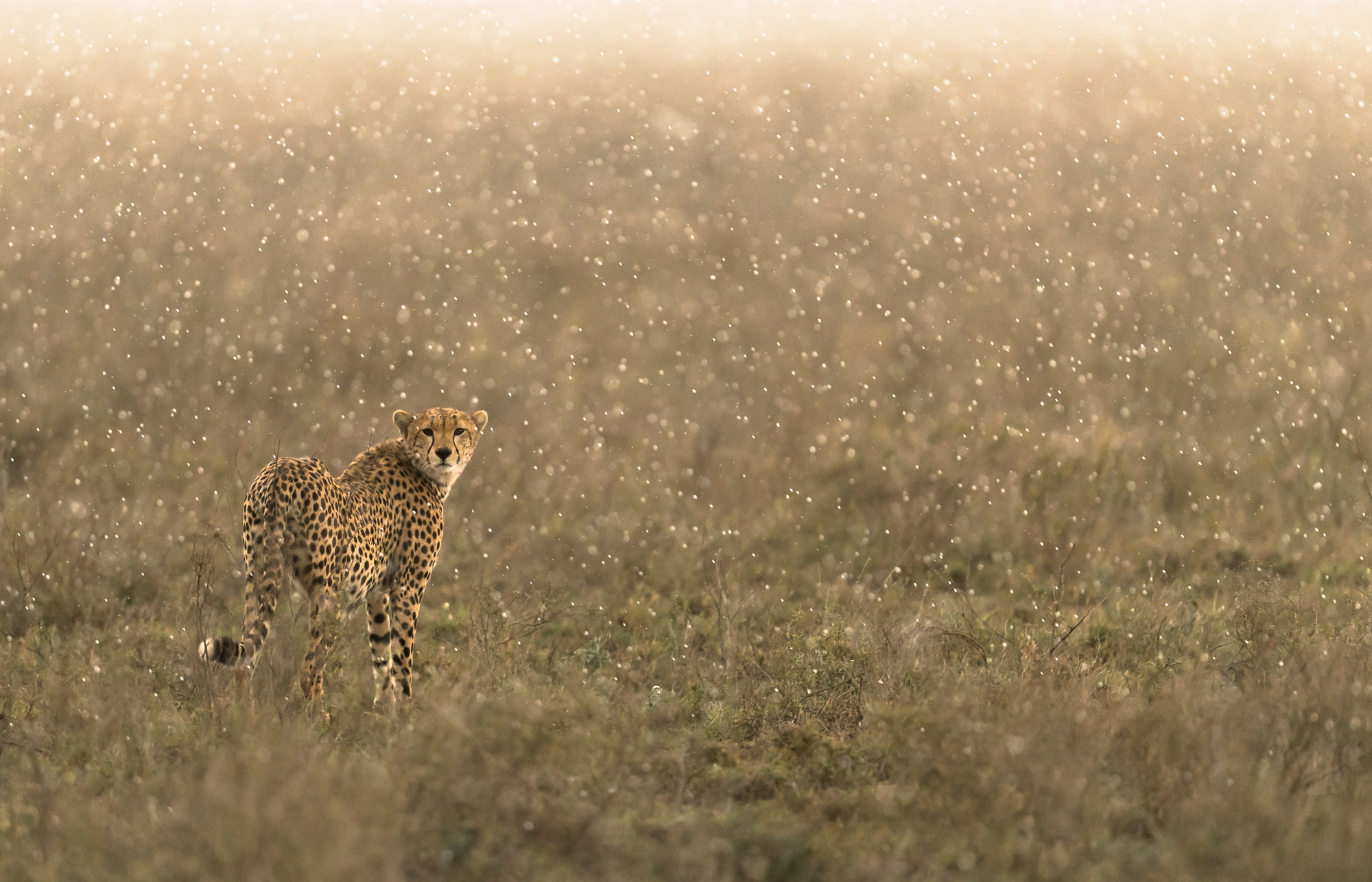 Cheetah in the rain © George Turner
