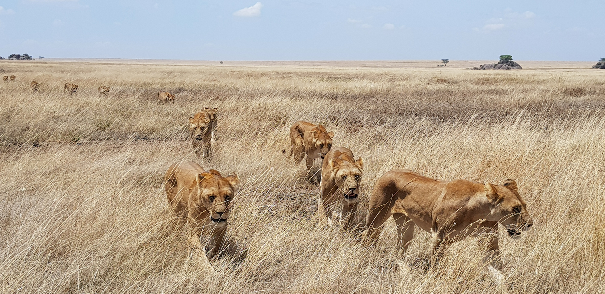 Pride of lions in the Serengeti in Tanzania