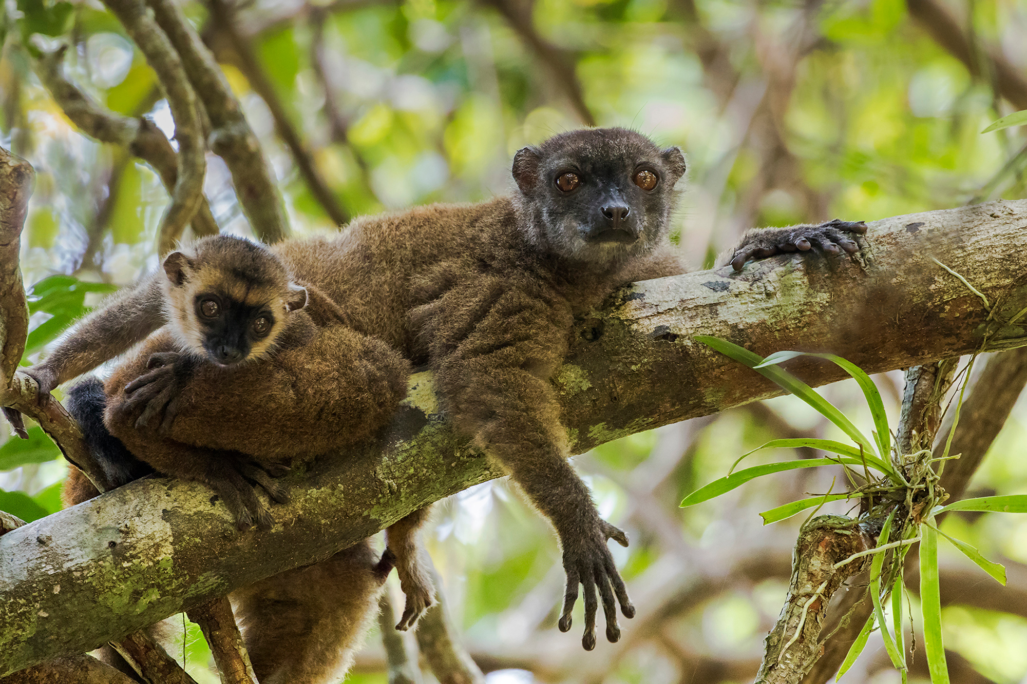 A white-fronted brown lemur rests with her baby in Madagascar