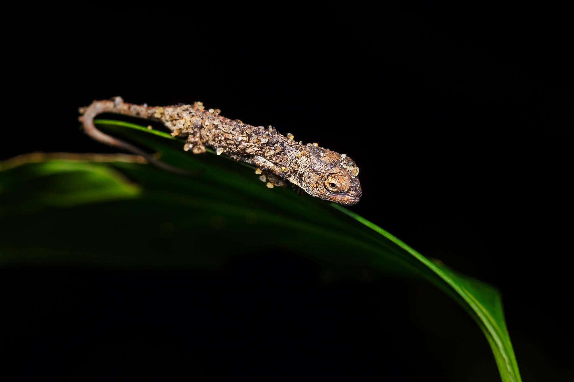 Juvenile panther chameleon on a leaf, Madagascar