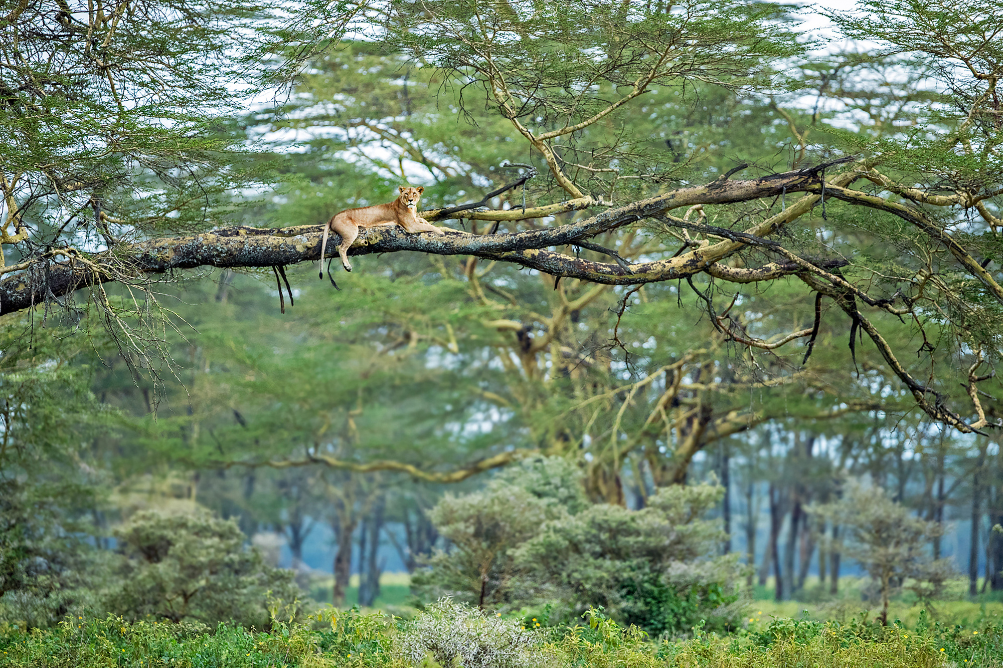 A lion rests in a tree in Lake Nakuru National Park, Kenya
