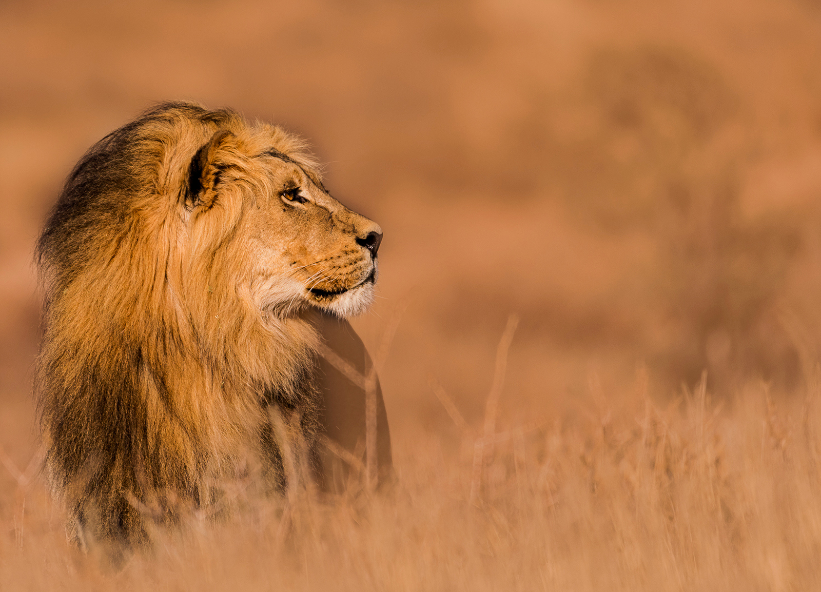 Male lion in the morning sunrise in Kgalagadi Transfrontier Park