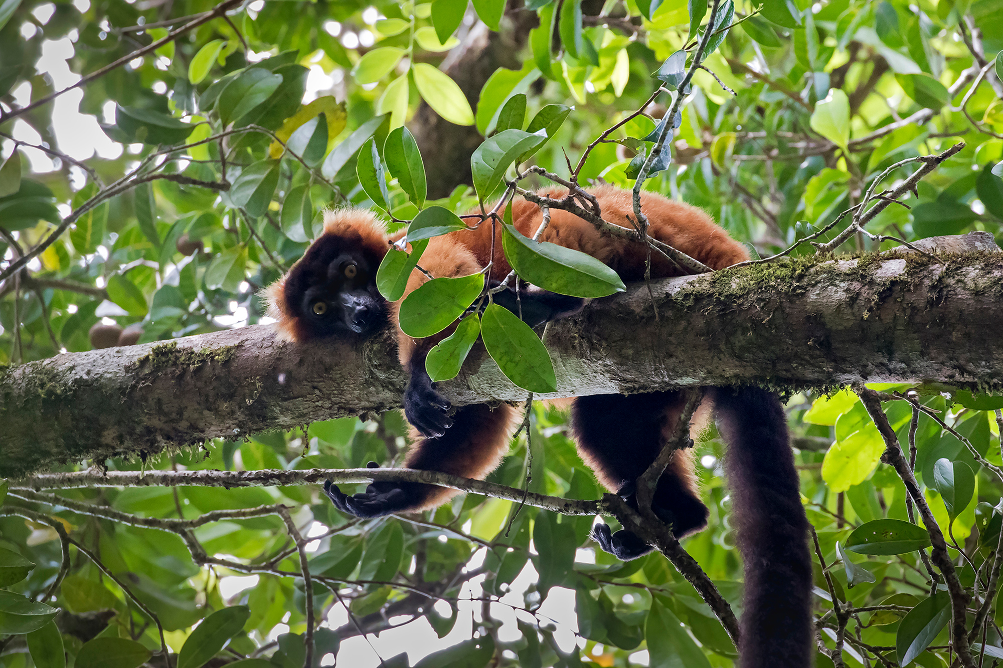 Red-ruffed lemur, Madagascar