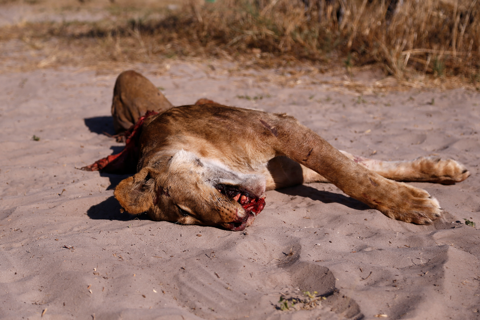 Lion killed by car