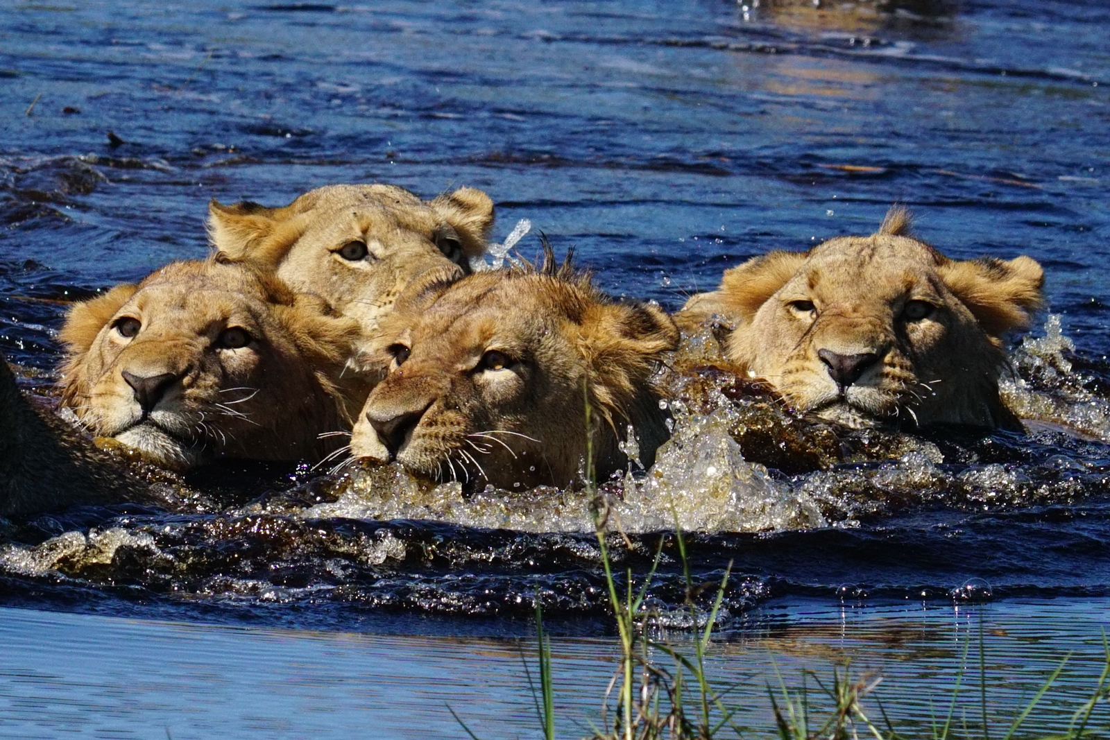 Sswimming lions in Duba Plains