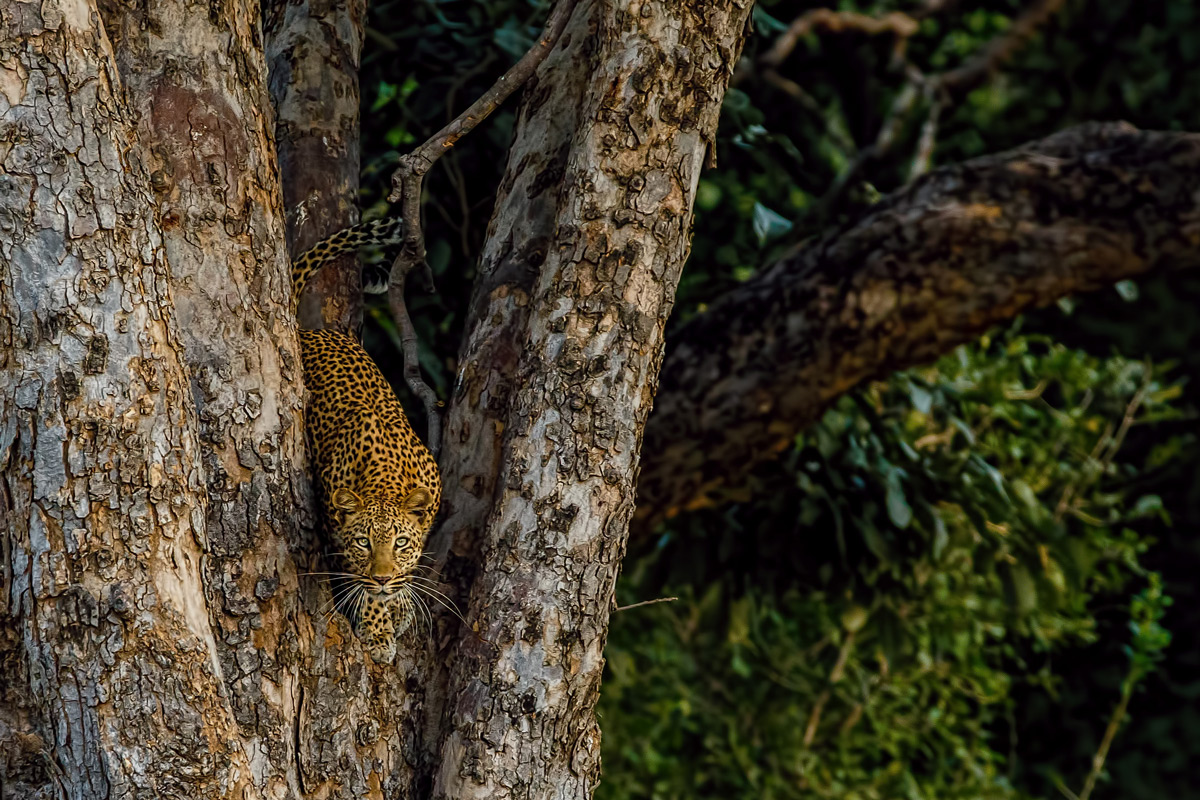 """I am watching you"" – a leopard keeps an eye on the photographer from a large tree in Mana Pools National Park, Zimbabwe © Andre Erlich"
