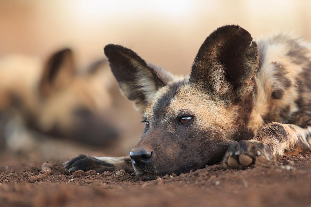 A painted wolf (African wild dog) rests in Zimanga Private Game Reserve, South Africa © Andreas Hemb