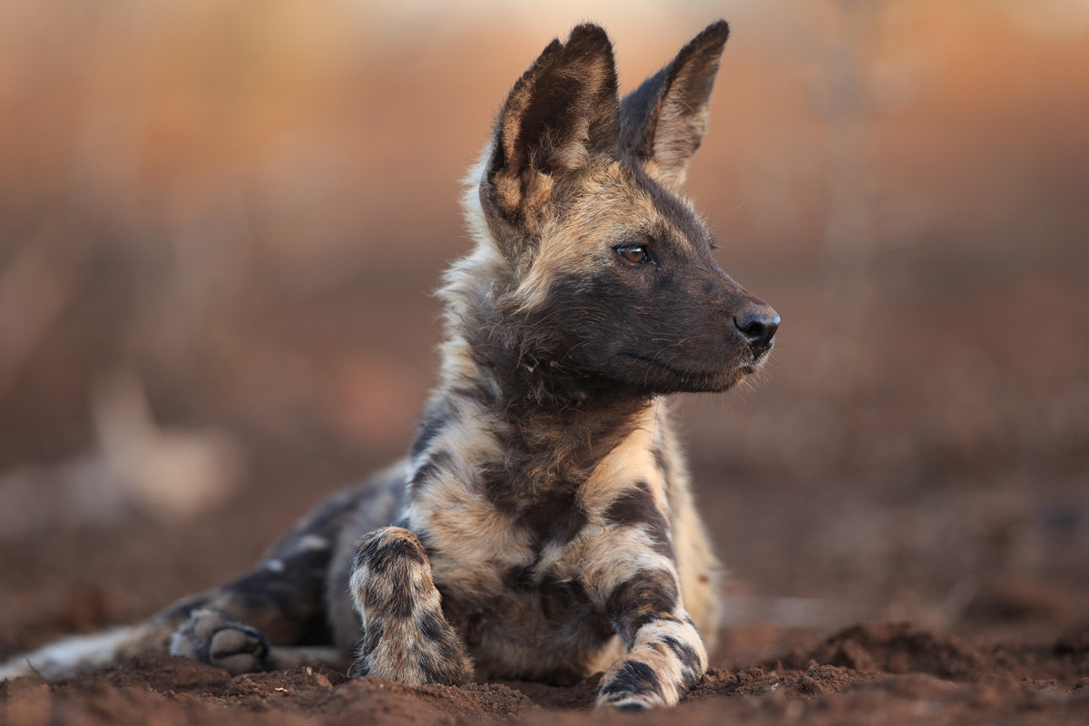 Portrait of a painted wolf (African wild dog) Zimanga Private Game Reserve © Andreas Hemb
