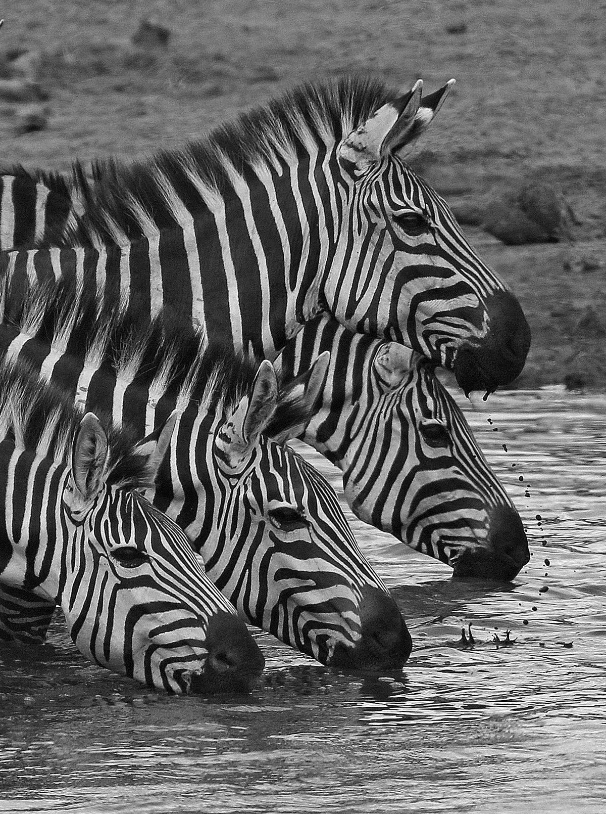 Zebra drink at a waterhole in Tarangire National Park ,Tanzania © Anthony Goldman