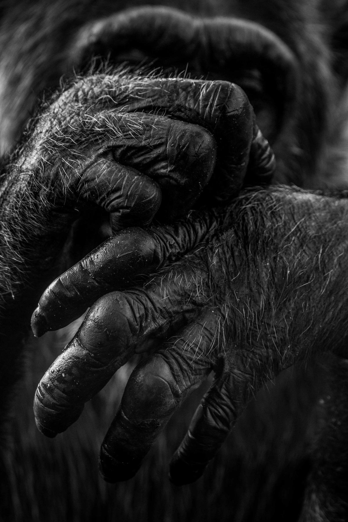 A chimpanzee scratches an itch at Ngamba Island Chimpanzee Sanctuary, Lake Victoria, Uganda © Anthony Ochieng