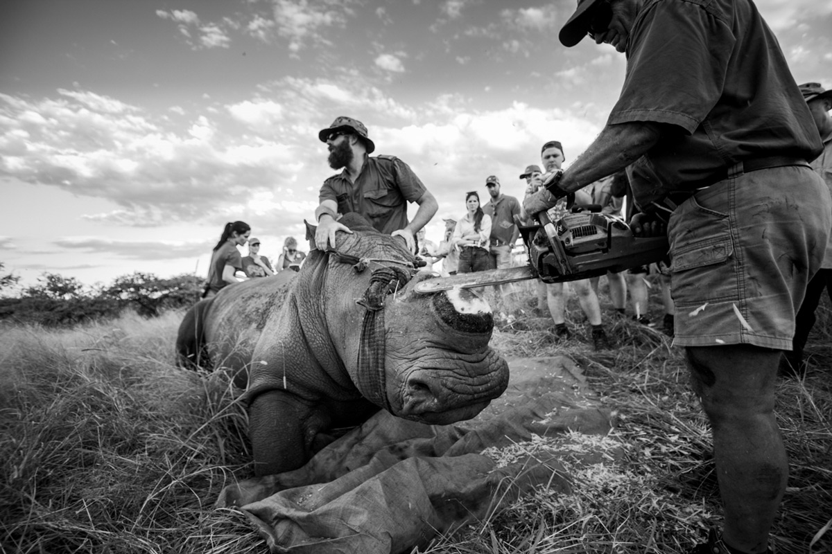 """To save a life"" – a white rhino is dehorned in South Africa © Caleb Shepard"