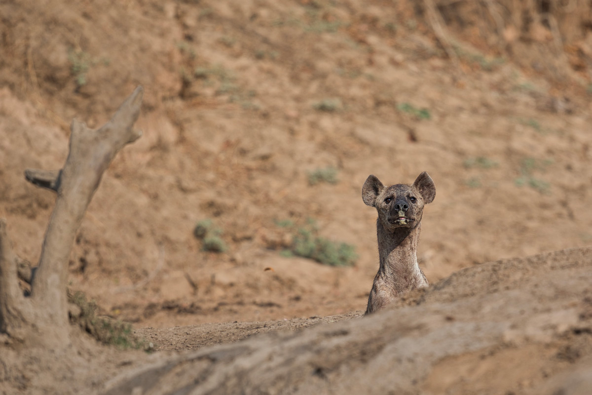 A curious spotted hyena watches the photographer after having a mud bath in South Luangwa National Park, Zambia © Daniela Anger