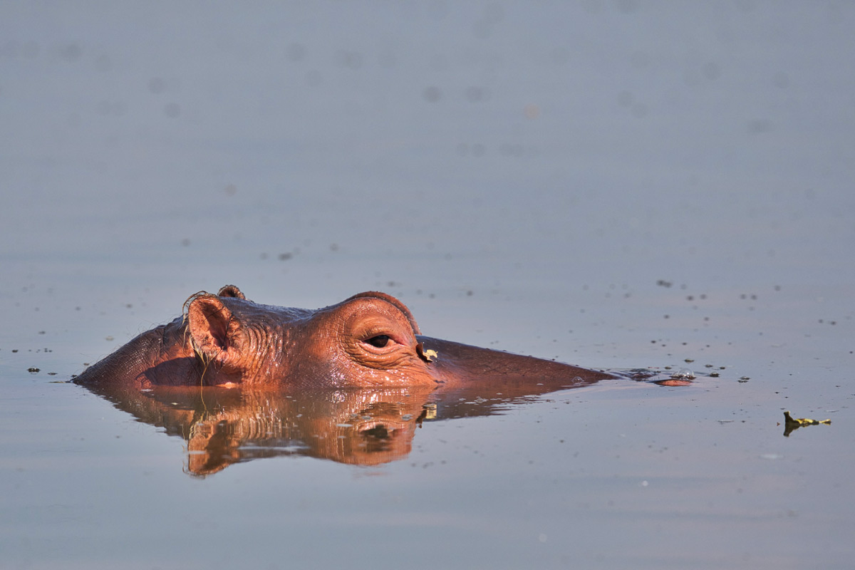 A relaxed hippo watches from the comfort of the cooling South Luangwa River in South Luangwa National Park, Zambia © Daniela Anger