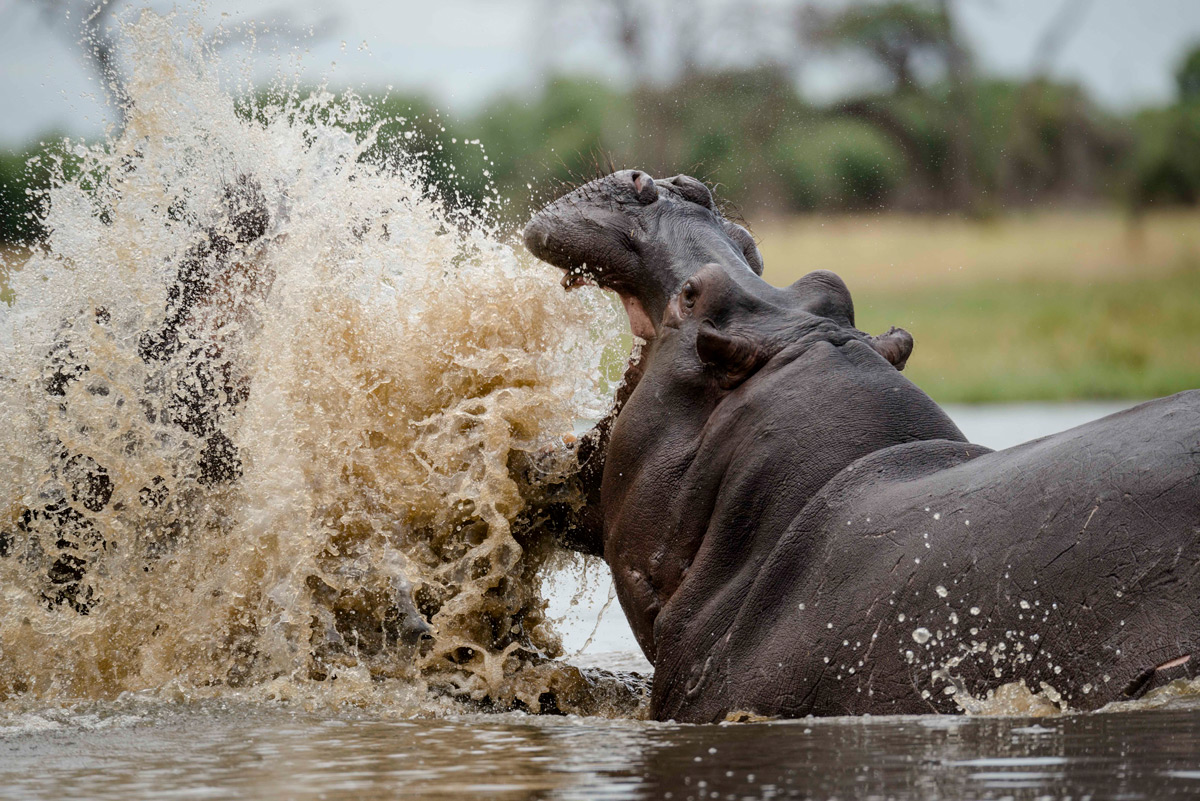 """Battle scars"" – a dramatic scene as two hippos fight in Khwai, Botswana © Darryn Haltmann"