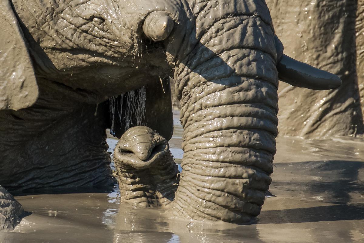 Elephants enjoy a mud bath in Savuti, Botswana © Derryn Nash