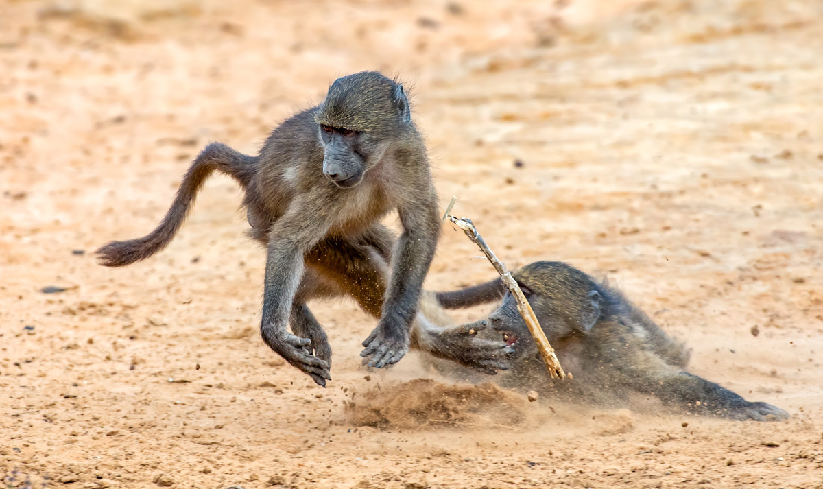 Young chacma baboons play a game involving a stick in uMkhuze Game Reserve, South Africa © Ernest Porter