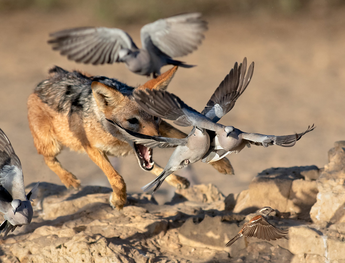 A black-backed jackal launches attempts to catch Cape turtle doves at a waterhole in Kgalagadi Transfrontier Park, South Africa © Ernest Porter
