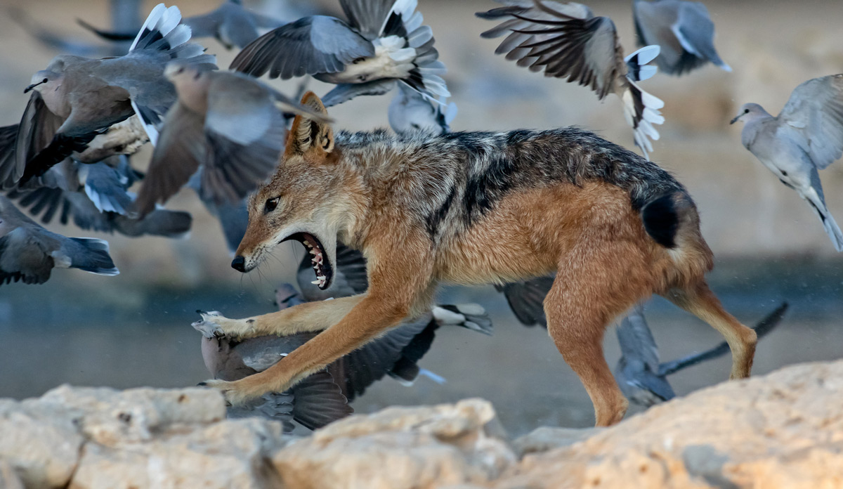 A black-backed jackal launches himself at doves at Cubitje Quap waterhole in Kgalagadi Transfrontier Park, South Africa © Ernest Porter