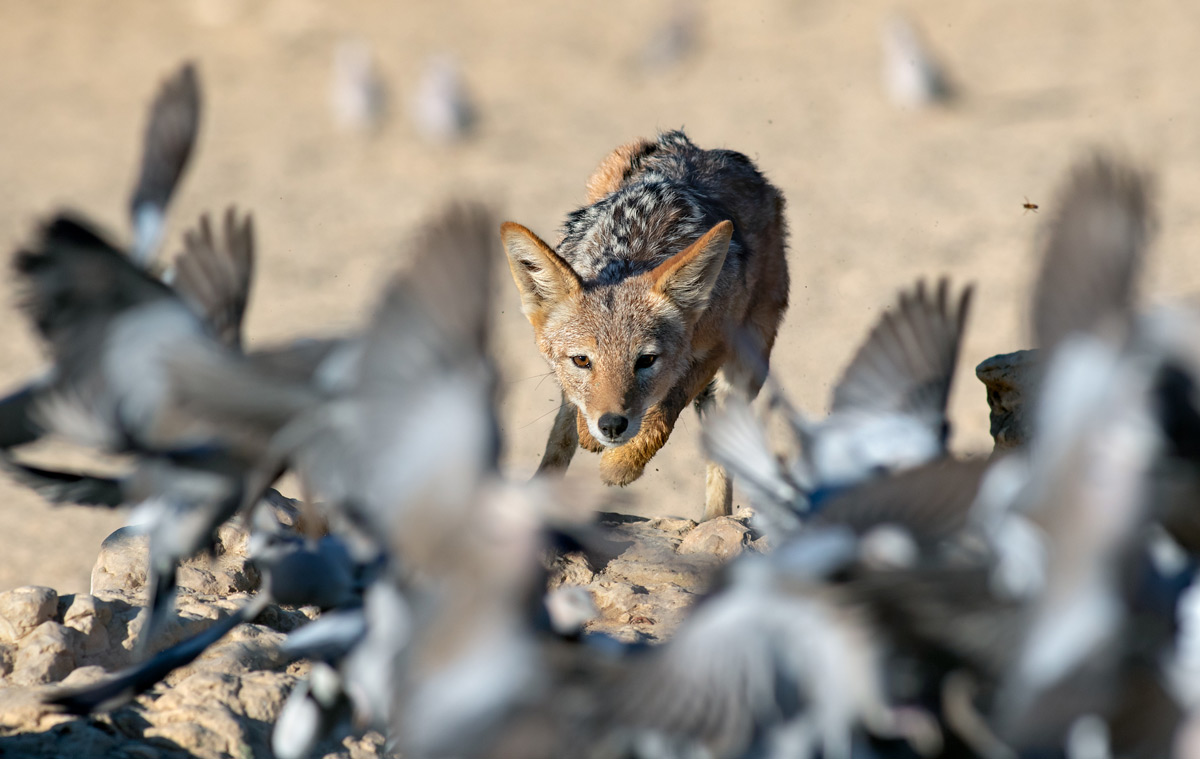 A black-backed jackal launches at a flock of Cape turtle doves in Kgalagadi Transfrontier Park, South Africa © Ernest Porter