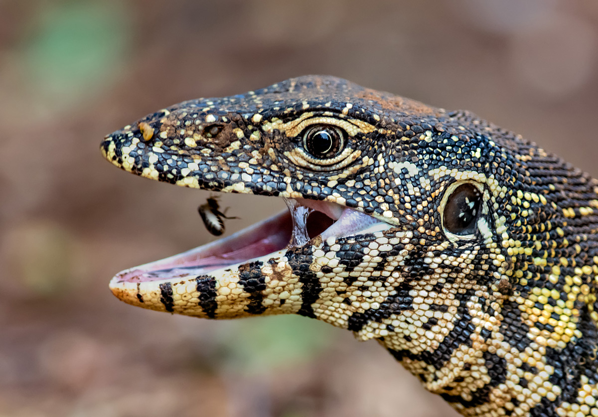A water monitor snatches up an insect in Kruger National Park, South Africa © Ernest Porter