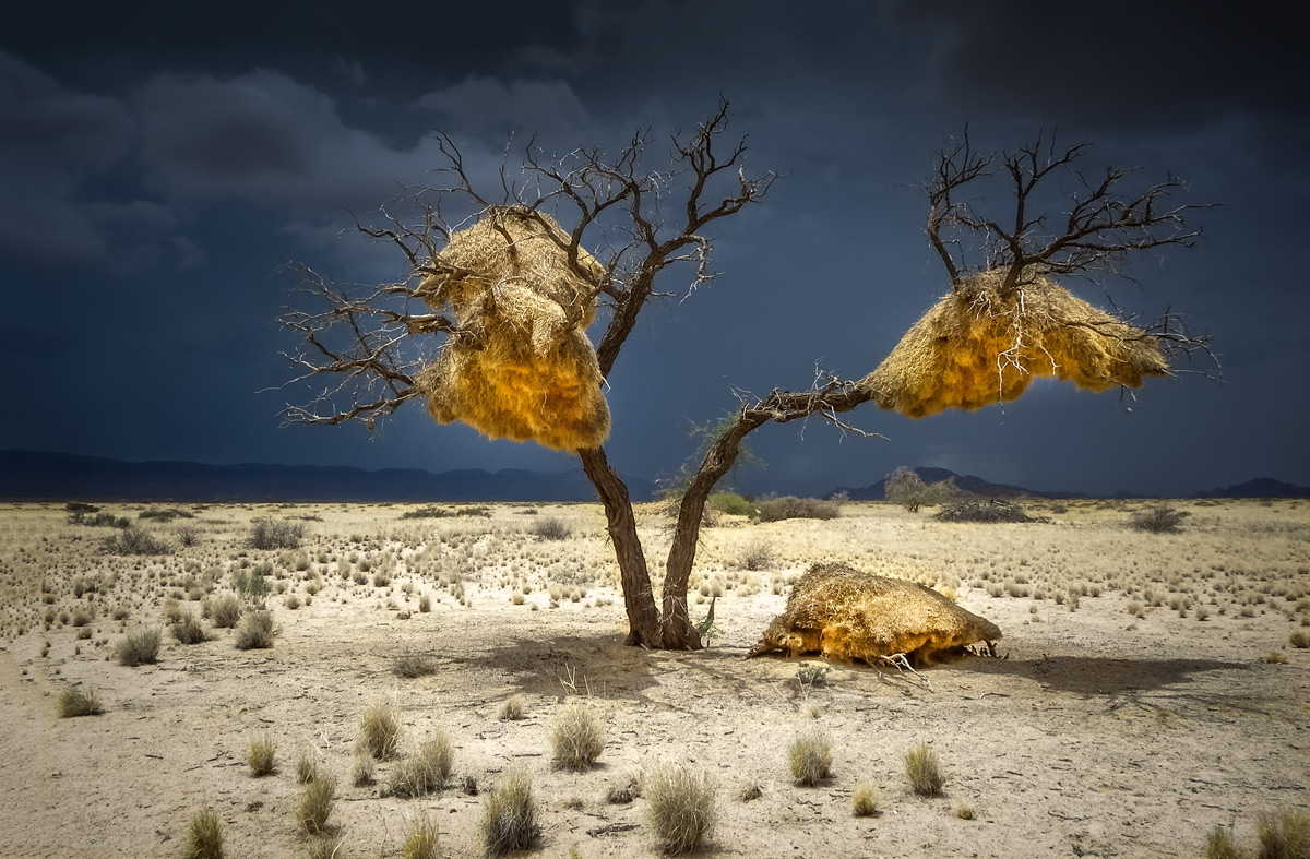 Weaver bird nests with a storm brewing in the distance in Sesriem, Namibia © Gary Proctor