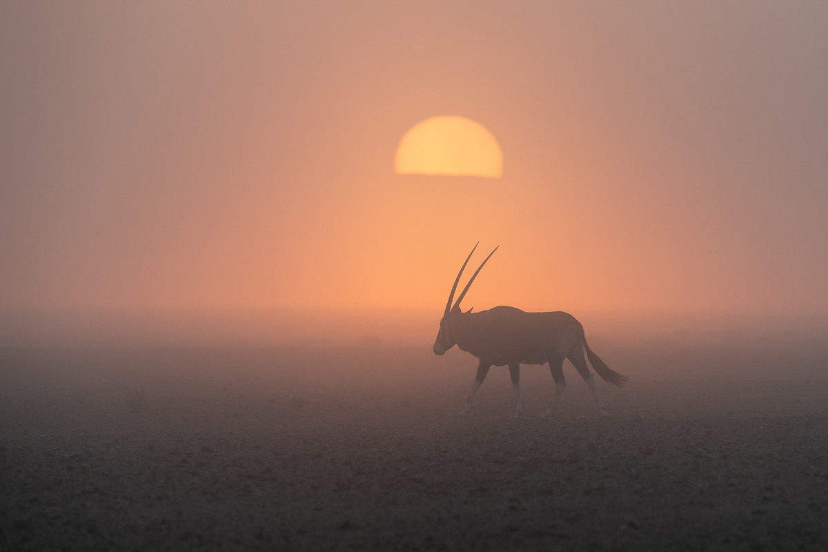An oryx browses in the mist at sunrise in the Tsauchab Valley, Namib-Naukluft National Park, Namibia © Gerald Knight
