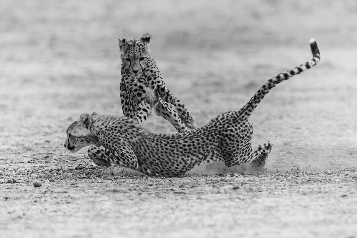 Two playful cheetah brothers on a high speed chase in the Nossob riverbed of the Kgalagadi Transfrontier Park, South Africa © Gideon Malherbe