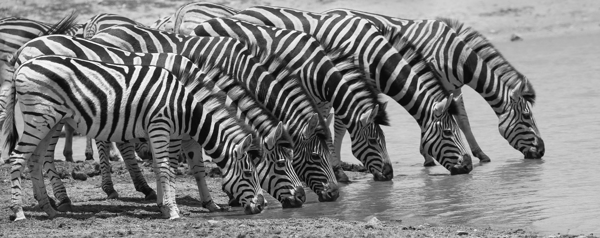 A dazzle of zebras drinking at a waterhole in Kruger National Park, South Africa © Guy Scott